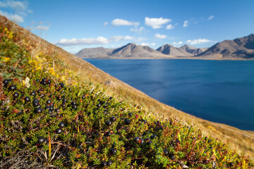 Arctic landscape. Black crowberry (Empetrum nigrum) berry on the hillside. View of the bay and mountains. Tundra plants. Wild northern berries of the polar region. Nature of Chukotka and Siberia.