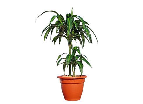 Dracaena fragrans 'Trunk of Brazil', Corn Plant, Cornstalk Plant, Dracaena Dragon Tree, janet craig plant, Ribbon Plant, Striped Dracaena, Striped Dragon Palm, Warneckei  Dracaena, warneckii