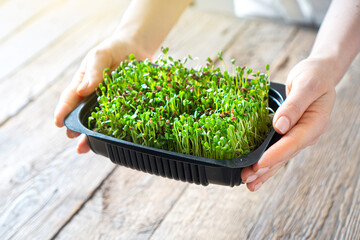 Microgreen sprouts in the tray in female hands