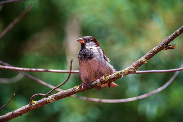 sparrow on a branch with blur background