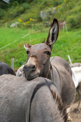 Donkey relaxing head on top of the back of another