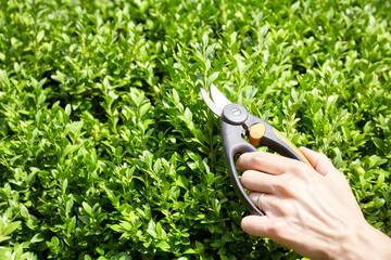 Fototapeta Close up of picture of hand with scissors trimming home garden boxwood hedge, selective focus.