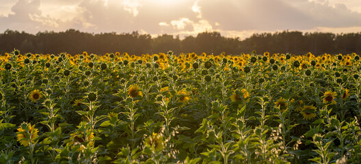 Fototapete - Summer landscape: beauty sunset over sunflowers field. Panoramic views