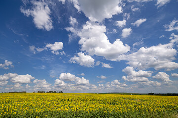 Fototapete - Blue Sky and white clouds above yellow Field Sunflower, panoramic view. Beautiful scenic dynamic Landscape agricultural land. Beauty nature, Agriculture.