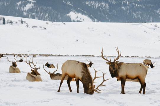 Sleigh ride to Herd of Elk wintering at the National Elk Refuge in Wyoming with Millers Butte and Table mountain