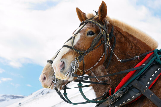 Draft horses after a sleigh ride through the National Elk Refuge in Jackson Hole Wyoming