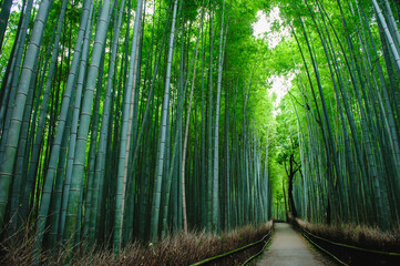 Bamboo forest 'Chikurin' in Arashiyama, Kyoto, Japan. A quiet bamboo forest path without people. It is usually full of tourists.