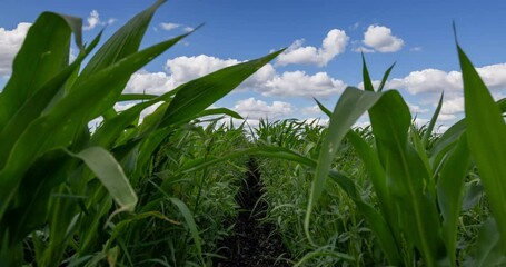 Fototapete - Blue Sky and white clouds above green Field corn. Beautiful scenic dynamic Landscape agricultural land. Beauty of nature. Agriculture. Cornfield. Growing vegetables on the farm. Time lapse.