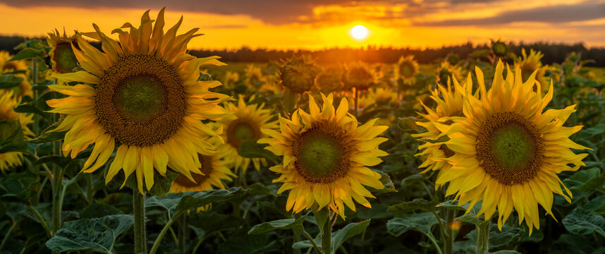 sunset over a field of blooming sunflowers