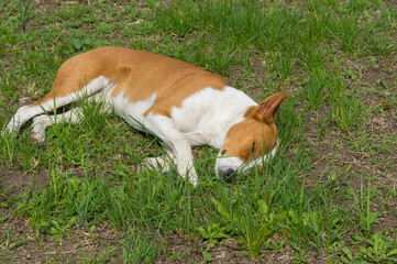 Basenji dog sleeping sweet while lying on a ground in a garden at spring season