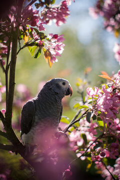 Timneh African Grey Parrot on the apple tree in spring garden