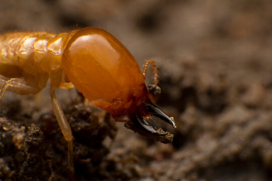Close up termite soldiers
