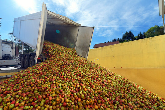 many freshly harvested apples are unloaded from a truck in a food factory for further processing into juice