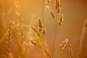 Grass in the rays of the sunset.