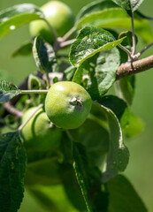 Close-up of apples on the branches of a tree.