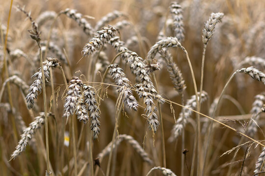 Field with ears of wheat in detail