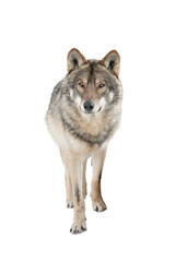 Poster Montagne Standing gray wolf in the snow in winter isolated on white background.