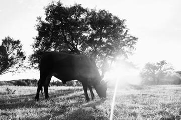 Wall Mural - Brahman crossbred beef heifer grazing at sunset in farm field.