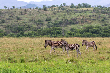 zebra standing in a Game Reserve in Kwa Zulu Natal in South Africa