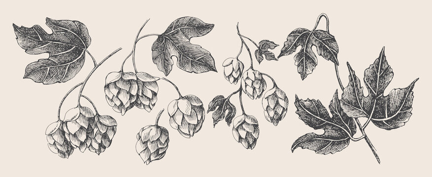 Hand-drawn set of branches, cones, hop leaves on a light isolated background. Botanical vector illustration. Label design element, packaging of organic cosmetics, craft beer in retro style.