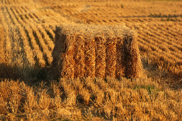 Bale of hay. Straw and stubbles on a harvested wheat field