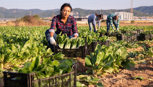 Positive hispanic woman farmer gathering harvest of organic chard