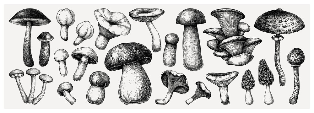 Edible mushrooms vector illustrations collection. Hand-drawn food drawings. Forest plant sketches. Perfect for recipe, menu, label, icon, packaging,