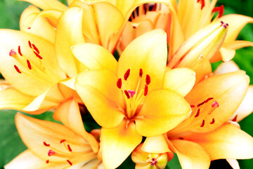 Yellow Lilies Background