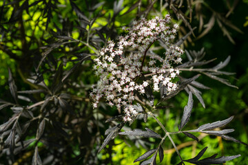 Black sambucus (Sambucus nigra) white flowers blossom. Macro of delicate flowers cluster on dark green background in spring garden. Selective focus. Nature concept for design.