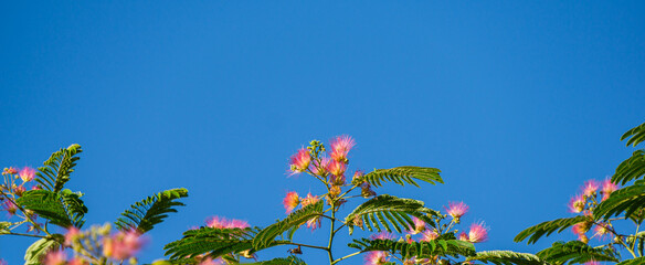 Delicate green leaves of Persian silk tree (Albizia julibrissin) on blue sky background. Place for text. Japanese acacia or pink silk tree the family Fabaceae.