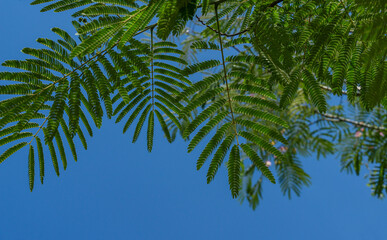 Delicate green leaves of Persian silk tree (Albizia julibrissin) on blue sky background. Japanese acacia or pink silk tree the family Fabaceae. Green landscape for nature wallpaper with copy space