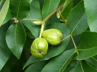 Shagbark hickory, Carya ovata, is a common hickory in the Eastern United States and southeast...