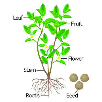 Illustration showing plant parts of green tea (camellia sinensis) on a white background.