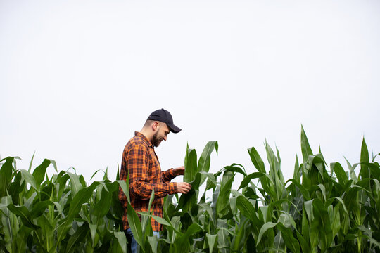 A young farmer inspects the stems and leaves of green corn for pests. Agricultural industry