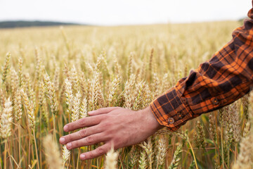 man touches ears of ripe wheat with his hand. Harvest concept