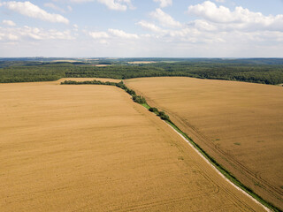 Aerial view of a large golden field of ripe rapeseed. Agricultural industry