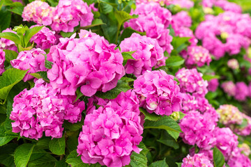 Spoed Foto op Canvas Roze Hydrangea blossom on sunny day. Flowering hortensia plant. Pink Hydrangea macrophylla blooming in spring and summer in a garden.