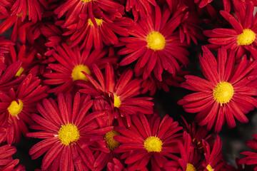 The autumn Flowers, chrysanthemum flowers wallpaper background.