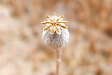 Detail of the ripe fruit of a royal opium poppy, Papaver somniferum, whose seeds are used to extract morphine.