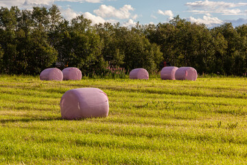 Rural landscape with hay bales packed in pink plastic on the field with green grass surrounded with the trees and bushes, Finnmark, Norway