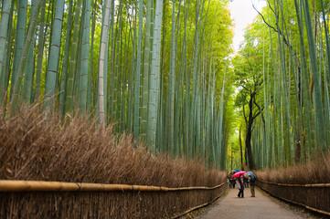 Rainy bamboo forest in Arashiyama, Kyoto, Japan.