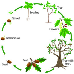 Life cycle of a oak tree on a white background.