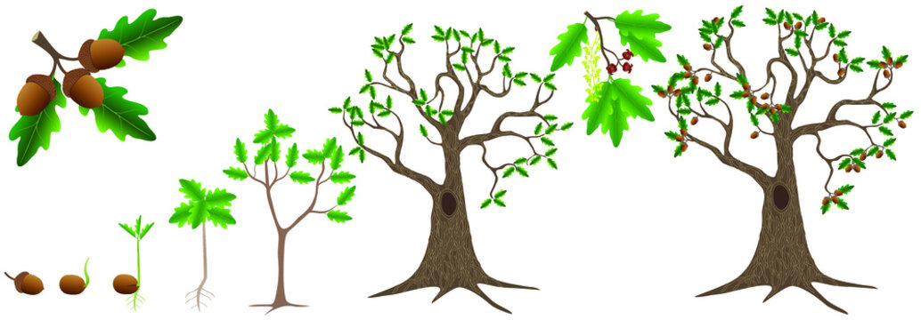 Cycle of growth of a oak tree on a white background.