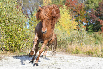 Canvas Prints Horses icelandic stallion