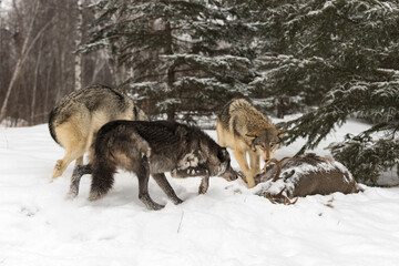 Grey Wolves (Canis lupus) Meet at Body of White-tail Deer Winter