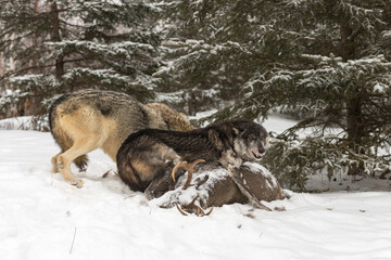 Black Phase Grey Wolf (Canis lupus) Defensively Stands Over Body of White-Tail Deer Winter