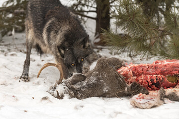 Black Phase Grey Wolf (Canis lupus) Looks Out Over Body of White-Tail Deer Winter