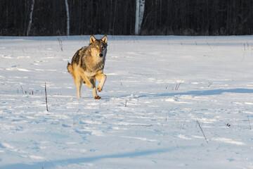 Grey Wolf (Canis lupus) Runs Forward Through Field Winter