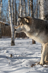 Grey Wolf (Canis lupus) One Paw Forward Looking Left Winter