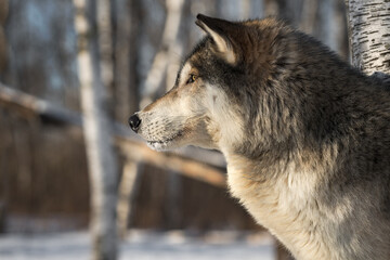 Grey Wolf (Canis lupus) Profile Looks Left Side Eye Winter